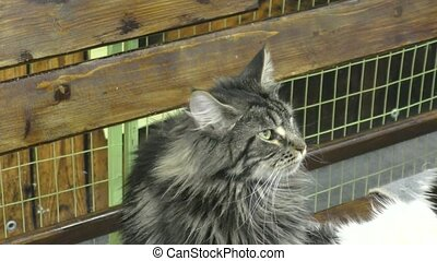 Kitten breed maine coon on resting
