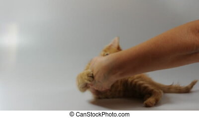 kitten cat playing with human hand