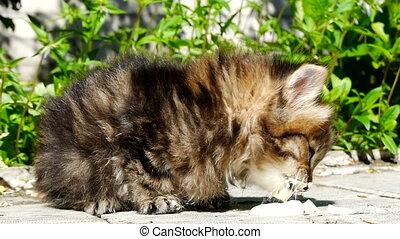 Kitten eating sour cream - British tabby kitten eating sour ...