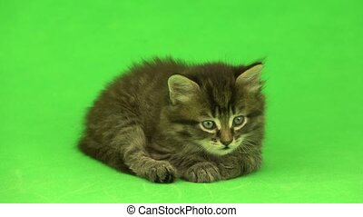kitten isolated on a green background
