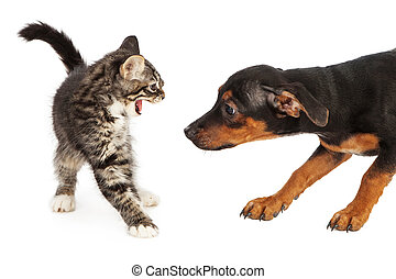 A scared small kitten hissing at a young Beagle mixed breed puppy that is trying to sniff her