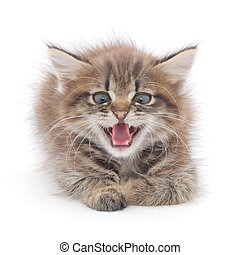 kitten hissing in front on a white background.
