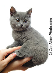 kitten in his hands - woman holding a gray kitten British