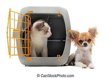 kitten in pet carrier and chihuahua - cat closed inside pet...