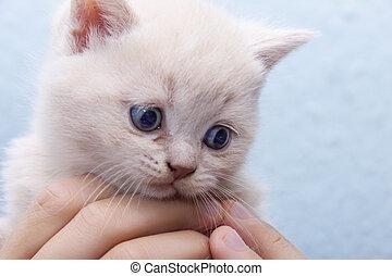 kitten in the hands of
