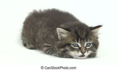 kitten isolated on a white background