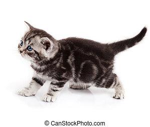 kitten isolated on white background. little cat