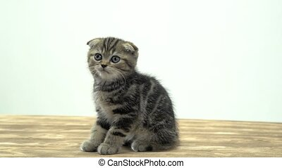 Kitten sits on a wooden floor licks its paw and meows. White background