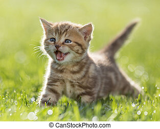 kitten meowing in green grass