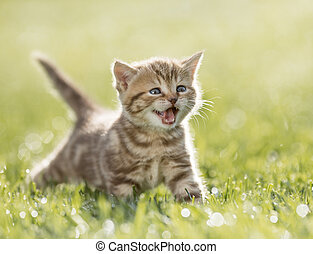 kitten meowing in the green grass