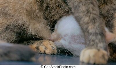 Kitten nursing slow motion video - Cat feeds kitten, kitten...