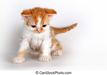 Kitten of breed Selkirk Rex red-white color on a light gray background in the Studio cute pet