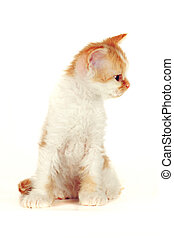 Kitten of breed Selkirk Rex red-white color on a white background in the Studio cute pet