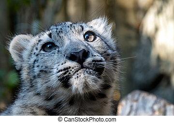 Kitten of snow leopard - Irbis (Panthera uncia)
