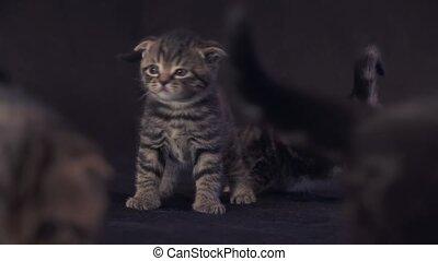 Kitten of the Scottish Frog breed on black background
