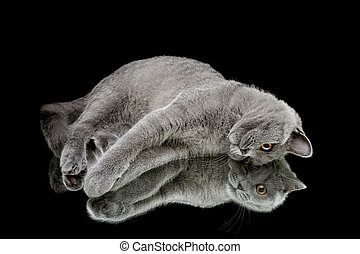 kitten on a black background with mirror reflection