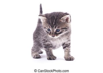 Kitten on a white background.