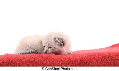 Kitten on red blanket