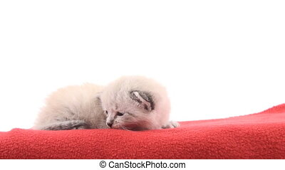 Kitten on red blanket