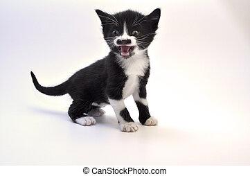 kitten roar