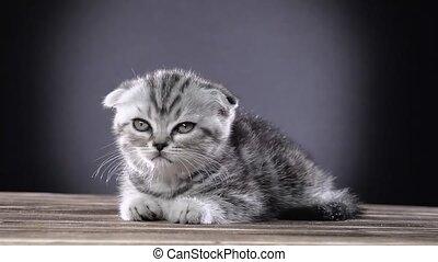 Kitten scottish fold lies and licks its paws. Black...