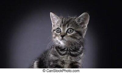 Kitten scottish straight sits and watches something. Black...