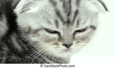 Kitten spotted scottish fold breed sitting . White...