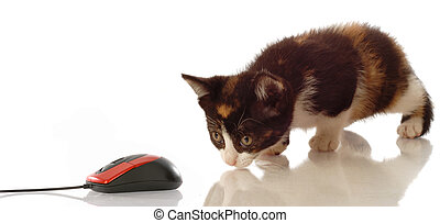 calico kitten stalking a computer mouse on white background