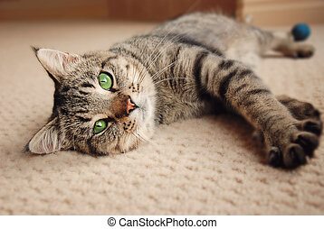 Kitten stretched out on carpet - Green eyed kitten relaxing...