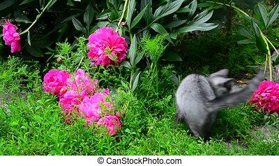 Kitten walks in grass near peony - the kitten walks in the...