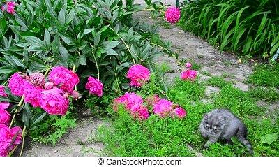 Kitten walks in grass near peony