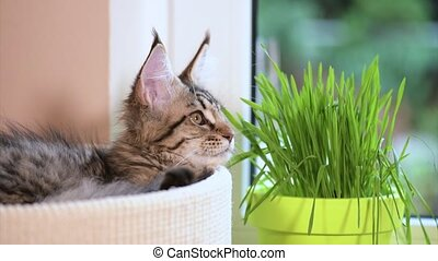 Kitten with green grass on windowsill