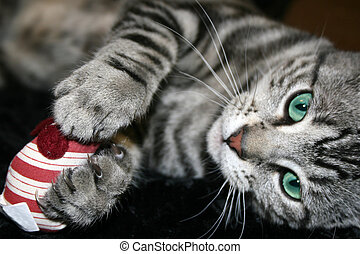 Kitten with Red Mouse - Aquamarine-eyed silver tabby kitten...