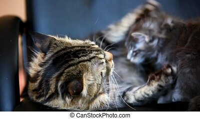 Kittens and big cat kisses And Licking together. Maine coon family love. HD. 1920x1080