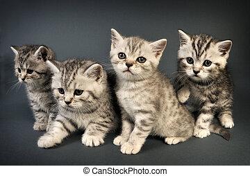 kittens., británico, shorthair