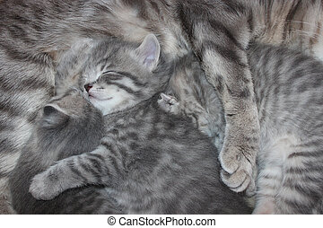 kittens drinking milk from his mother