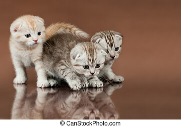 kittens - group of three fluffy beautiful kitten, breed...