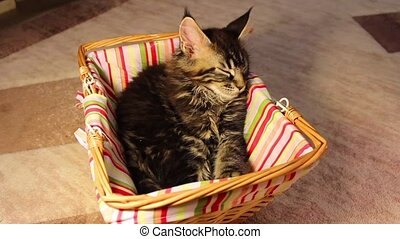 kittens Maine Coon