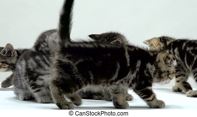 Kittens scottish fold and straight creep and look around....