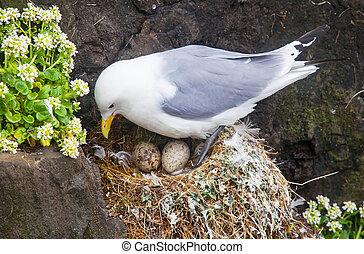 Kittiwake sittig on a nest with two eggs