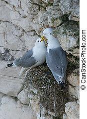 kittiwake, paio, nido, scogliera