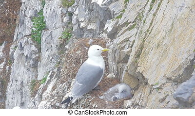 Kittiwake with chick on narrow ledge of cliff Novaya Zemlya...