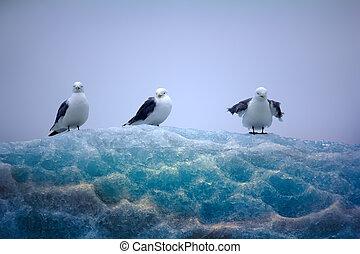 Kittiwakes sitting on top of lace ice