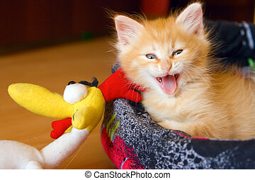 beautiful red kitten yawning with open mouth