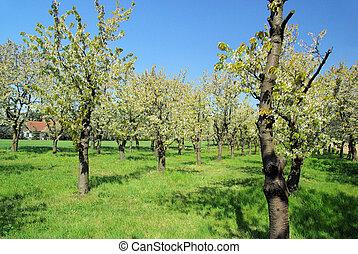 kivirul, cseresznye, 29