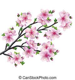 kivirul, cseresznyefa, japán, elszigetelt, sakura