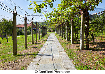 Kiwi and apple orchard and stone tiled path in a sunny summer day, perspective