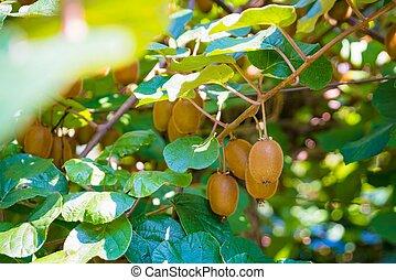 kiwi, boom fruit, italië, plantatie