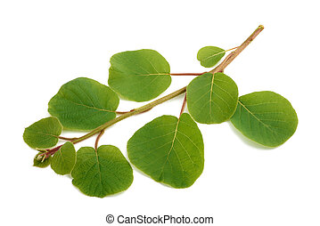 kiwi branch isolated
