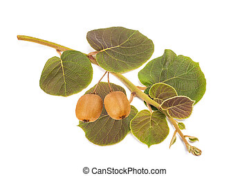 kiwi branch with fruits